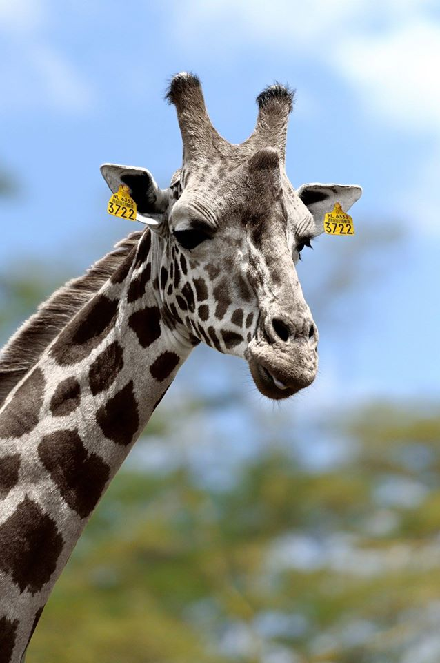 giraf-koe